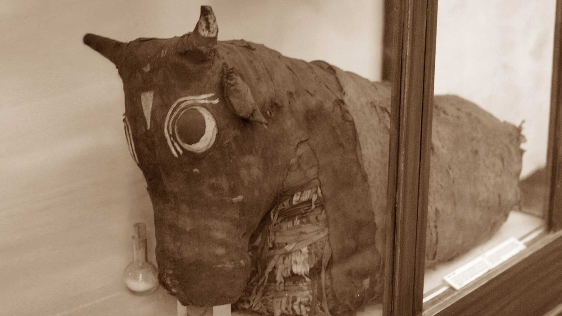 Such almost 1.7 metre long bull mummies packages are said to have been buried in the giant sarcophagi