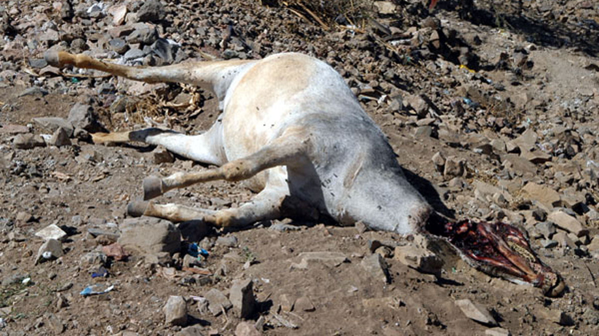 Dead donkey on the roadside of the desert road from Cairo to Alexandria.